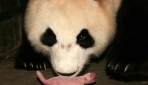 Panda Lili 19 Yaşında Doğum Yaptı
