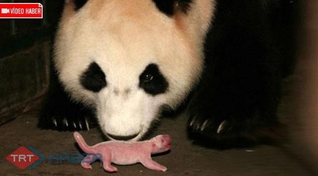 Yaşlı Panda Doğurdu