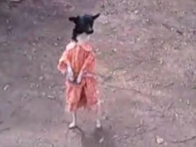 İki Ayağı Üzeinde Dakikalarca Yürüyen Köpek
