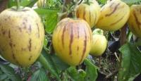 Iğdır'da Pepino Üretimi