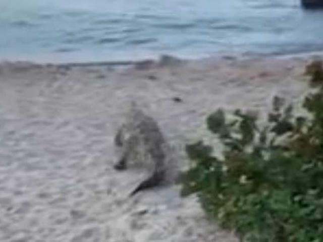 Kolombiya'da sahilde çalıların arasından çıkan timsah paniği