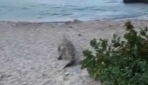 Kolombiyada sahilde çalıların arasından çıkan timsah paniği