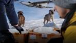 Karda mahsur kalan hayvanlara havadan yiyecek atıldı