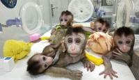 Çin genetiği değiştirilmiş primat klonladı