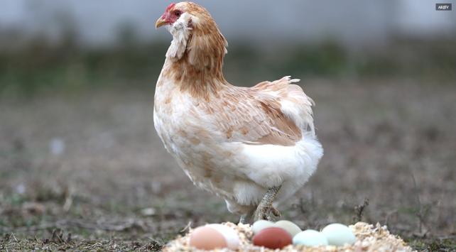 """""""Kanser ilacı yumurtlayan"""" tavuklar yetiştirildi"""