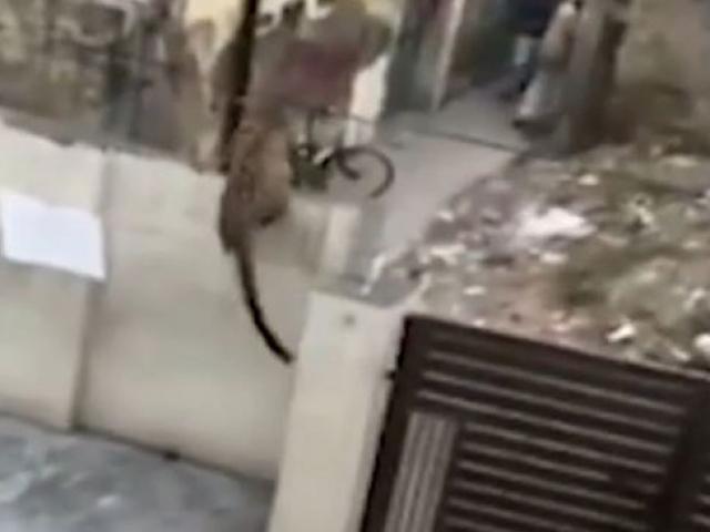 Yerleşim bölgesine giren leopar büyük korkuya neden oldu