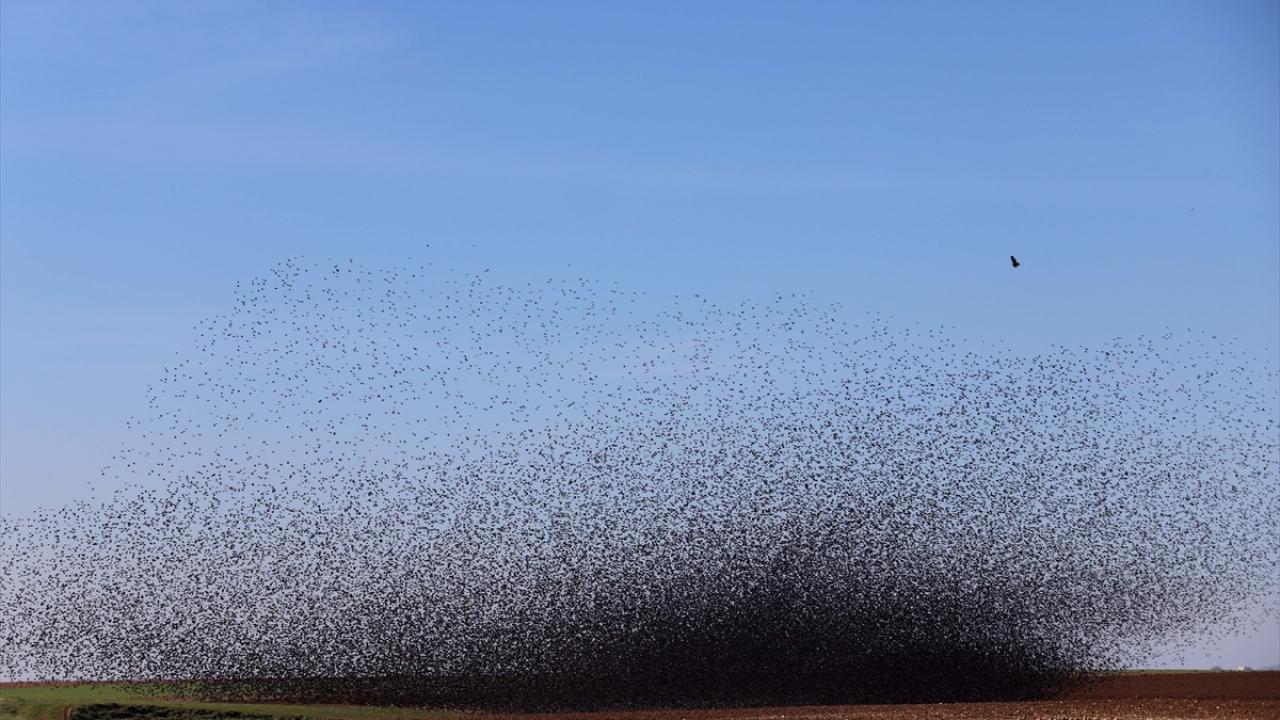 Sığırcık kuşlarından Mardinde görsel şölen
