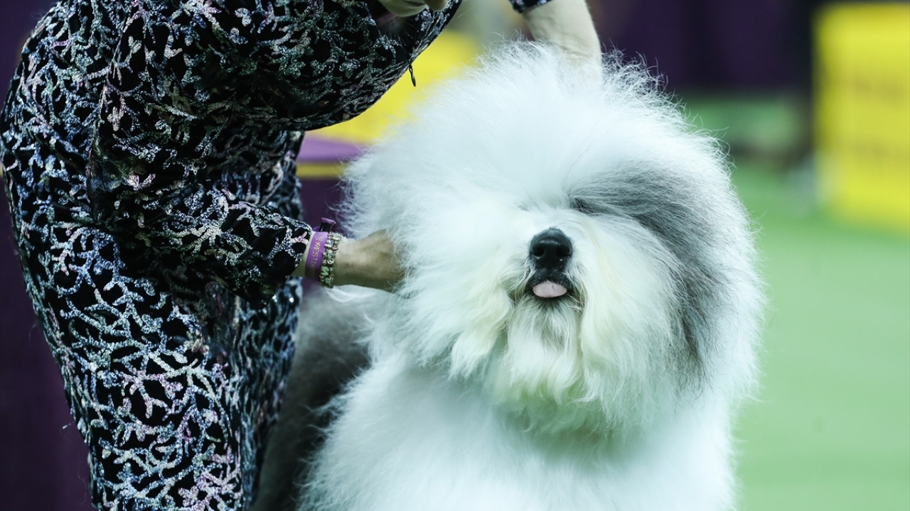 143. Westminster Kennel Club Köpek Şovu