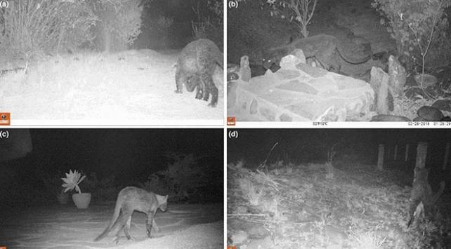Afrikada 1 asır sonra siyah leopar görüldü