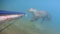 Rize'de nesli tehlike altında olan su samuru görüldü