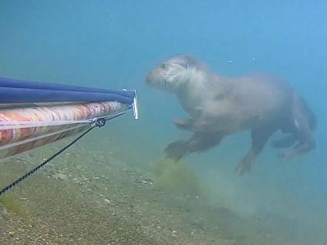 Rize'de su samuru görüldü