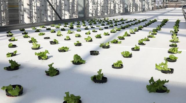 Topraksız tarımda ikinci dikim başladı