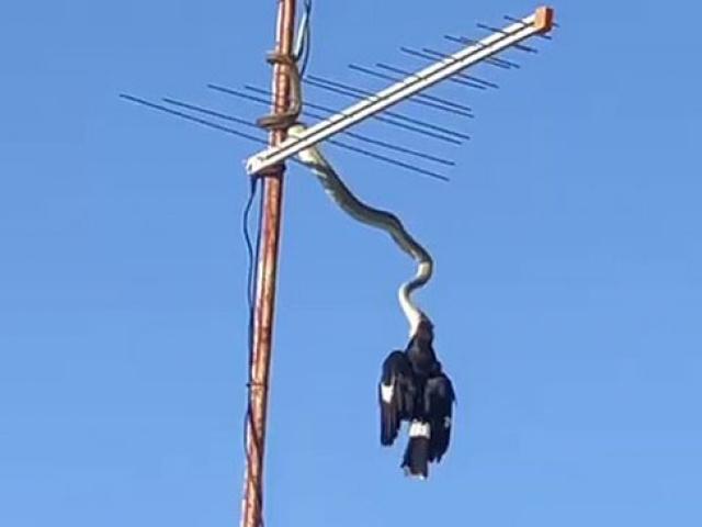 Avustralya'da antenden sarkan piton kuşu yakaladı