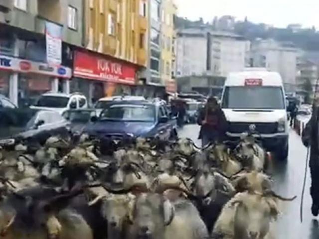 Keçiler yolu kapatınca uzun araç kuyruğu oluştu