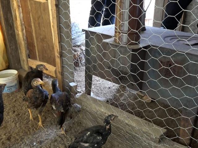 Rizeli aile tavuklar üşümesin diye kümese soba kurdu