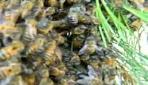 Arıların Oğul Vermesi Görüntülendi