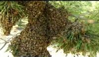 Arıların Oğul Verme Anı Görüntülendi
