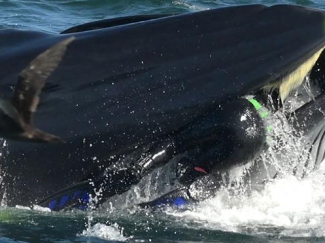 Dev balina dalgıcı yuttu, tadını beğenmeyince geri bıraktı