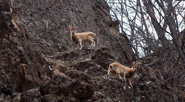 Munzur Vadisinde yaban keçileri görüntülendi