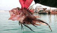 Balıkçının ağına zehirli Aslan balığı takıldı