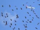 İstanbul hava sahasında leylek alarmı