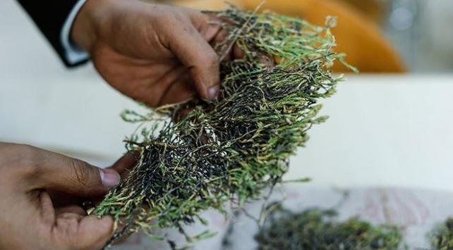 Aziz Sancar'ın adı verilen bitki ilaç olma yolunda