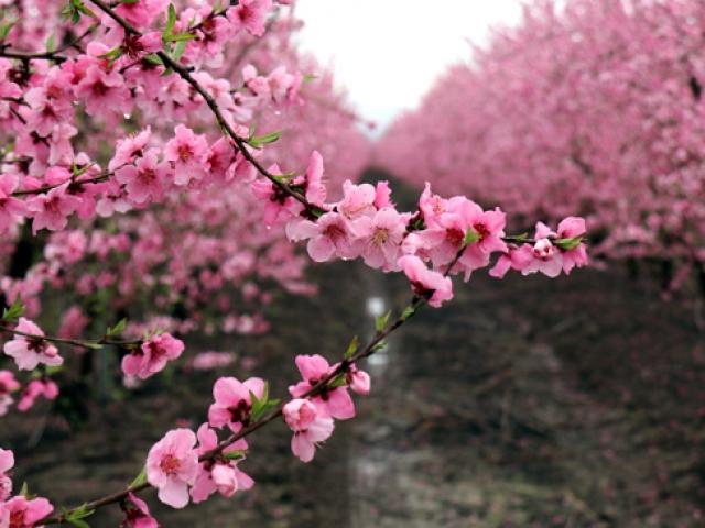 Amik Ovasında baharın renkleri