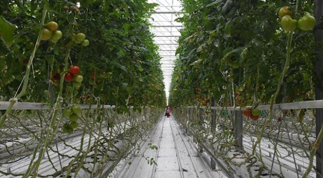 Teknolojik serada üretilen domatesler Avrupaya satılıyor