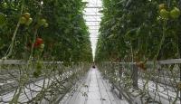 Teknolojik serada üretilen domatesler Avrupa'ya satılıyor