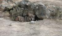 Antalya'da hayvanat bahçesinden kaçan kurt ormanlık alanlarda aranıyor