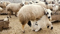 Erzincan'da kuzular annelerine kavuştu