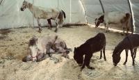 Ölüme terk edilen engelli yük hayvanlarını hayata bağlıyorlar