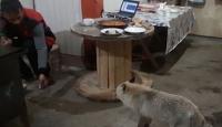Artvin'de aç kalan tilki dağ evine misafir oldu
