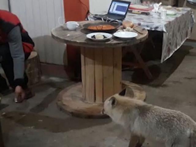 Artvinde aç kalan tilki dağ evine misafir oldu