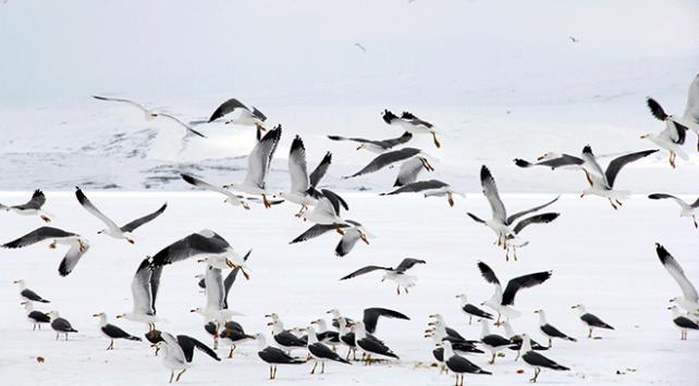 Buzla kaplı Çıldır Gölünde avlanamayan martıları besliyor