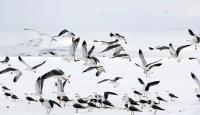 Buzla kaplı Çıldır Gölü'nde avlanamayan martıları besliyor
