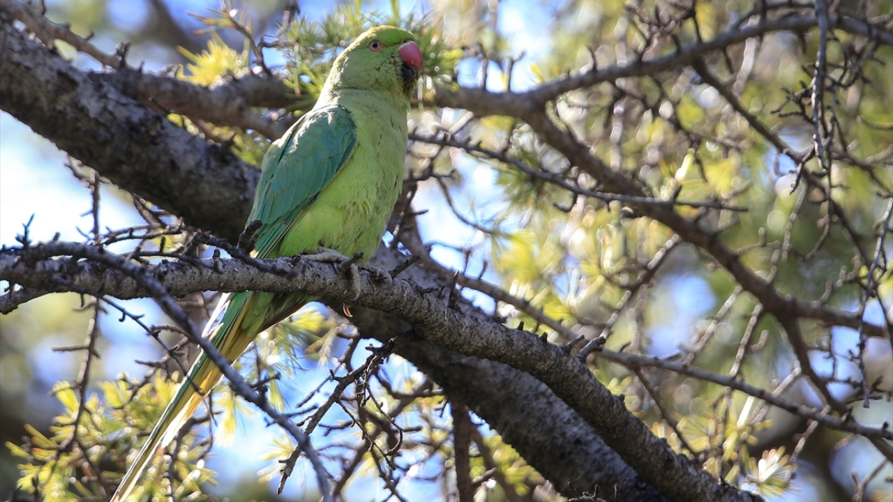 İzmirin sevimli misafirleri: Yeşil papağanlar