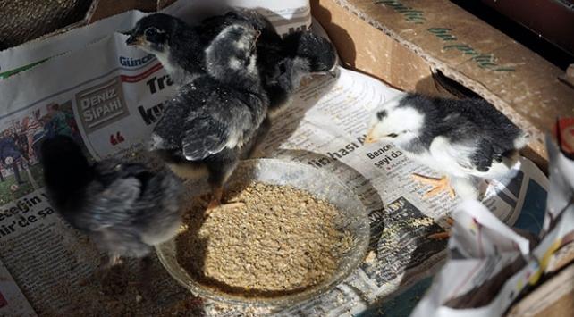 Kuluçkada ölen tavuğun yumurtalarından civciv çıkarttı