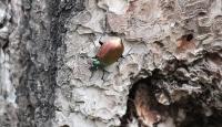 """""""Gladyatör böcekler"""" ormanlık alanlara bırakılıyor"""
