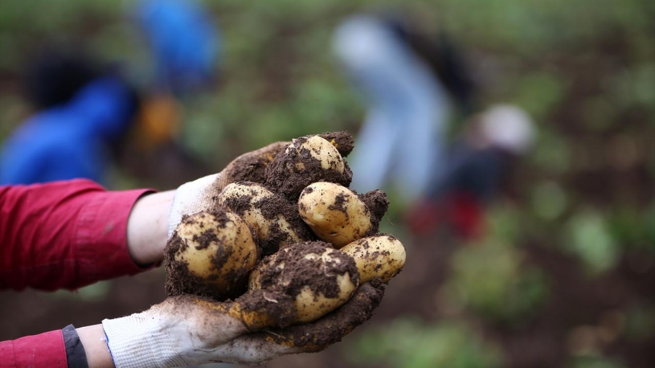 Çukurovada turfanda patates hasadı başladı