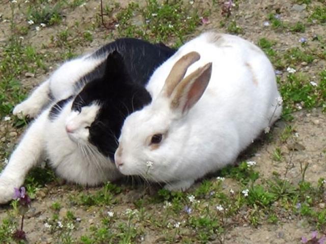 Tavşan Pamuk'un en iyi arkadaşı bir kedi