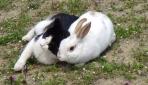 Tavşan Pamukun en iyi arkadaşı bir kedi