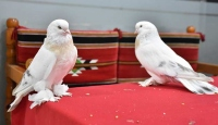 Adıyaman'daki yavru kuşun fiyatı ev ile yarışıyor