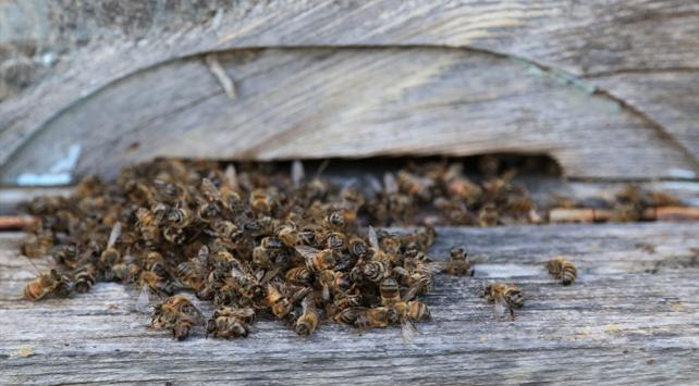 Muğlada toplu arı ölümü