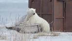 Yolunu şaşıran kutup ayısı evinden 700 kilometre uzağa gitti