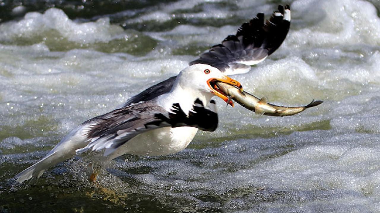 Van Gölünde av yasağını delen martılar