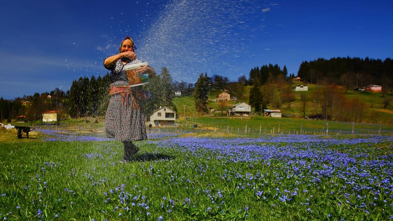 """""""Mavi yıldız"""" çiçekleriyle Kadıralak Yaylası"""