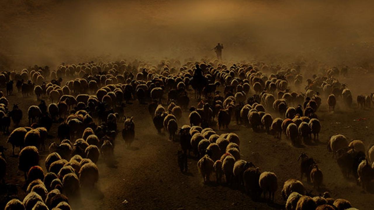 Çobanların sürüleriyle toz bulutlu yolculuğu