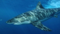 Avustralyada köpek balığı saldırısı