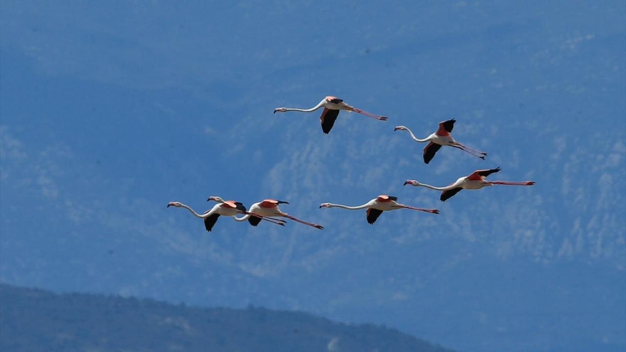 İzmir Kuş Cennetinde 20 bin flamingo kuluçkaya yattı